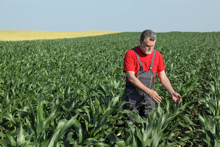 agronomist: Agriculture, farmer or agronomist  inspect quality of corn in field, late spring or early summer Stock Photo