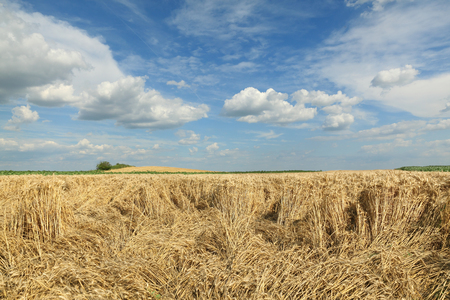 wind storm: Agriculture, damaged wheat field after storm Stock Photo