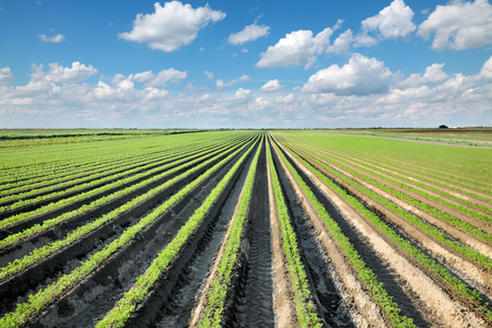 carrot: Agriculture, carrot field in early summer, rows of plant with blue sky and clouds Stock Photo