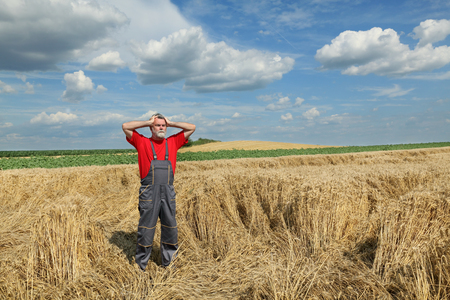damaged: Agriculture, desperate farmer gesturing in damaged wheat  field after storm