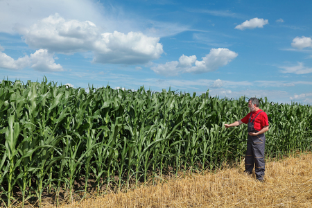 Boer of agronoom inspecteren kwaliteit van maïs met tablet in de hand
