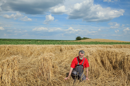 to examine: Agriculture, desperate farmer  examine damaged wheat  field after storm