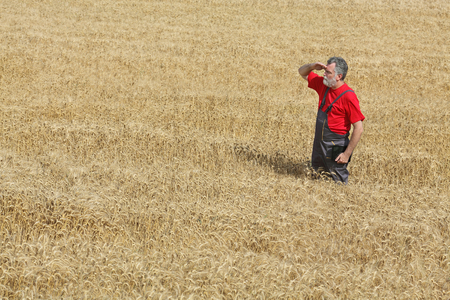 agronomist: Agriculture, farmer or agronomist inspect quality of wheat in field ready to harvest Stock Photo