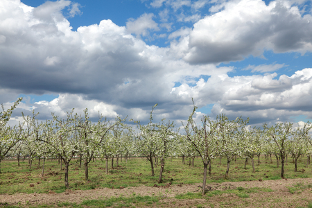 manure: Agriculture, blooming plum orchard in spring, with sky and clouds
