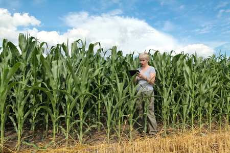 Female agronomist or farmer  inspect quality of corn using tablet