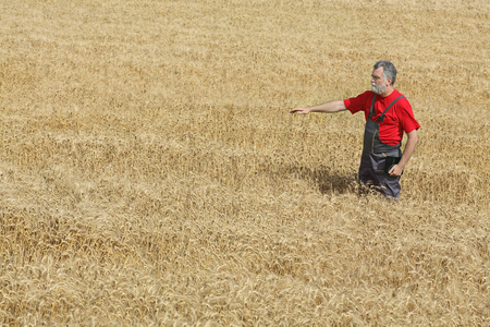 agronomist: Agriculture, farmer or agronomist inspect quality of wheat in field ready to harvest and gesturing