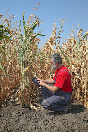 agronomist: Farmer or agronomist examine corn plant in field using tablet, harvest time Stock Photo