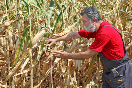 Agriculture, farmer or agronomist examine damaged corn plant in field, harvest time