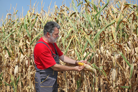 agronomist: Agriculture, farmer or agronomist examine corn plant in field, harvest time