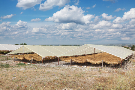 tobacco plant: Traditional way of tobacco drying in tent, rural area of Greece Stock Photo