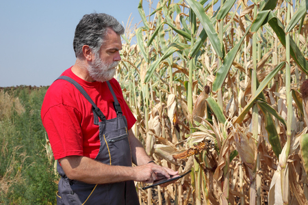 agronomist: Farmer or agronomist examine damaged corn plant in field using tablet, harvest time