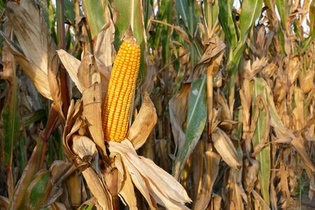 corn rows: Closeup of corn cob in late summer ready for harvest with copy space Stock Photo