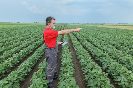 agronomist: Farmer or agronomist examine soybean plant in field using tablet and pointing