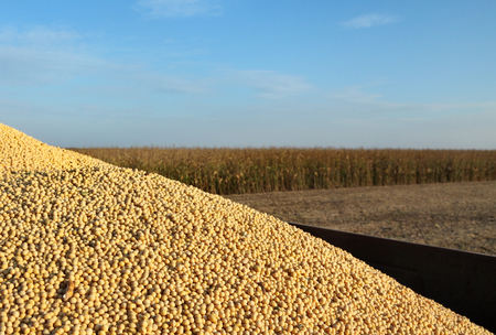 tractor trailer: Tractor trailer with heap of soy bean after harvest in field