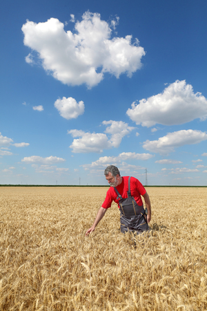 agronomist: Farmer or agronomist inspect quality of wheat with tablet in hand, harvest time
