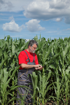 agronomist: Farmer or agronomist  inspect quality of corn with tablet in hand Stock Photo