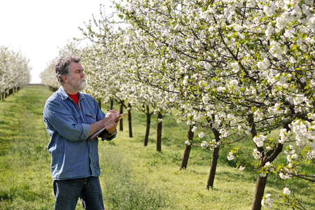 agronomist: Agronomist or farmer examine blooming cherry trees in orchard, and writing data