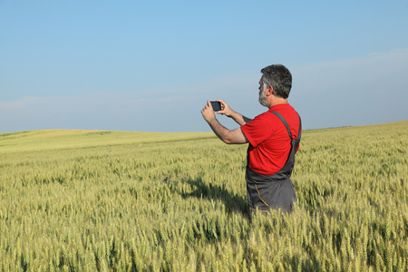 Agriculture, farmer photographing wheat plant in field, using mobile phone
