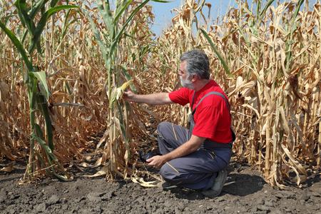 Agricultura, agricultor o agrónomo examinan planta de maíz en el campo después de la sequía