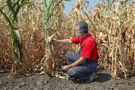 Agriculture, farmer or agronomist examine corn plant in field after drought