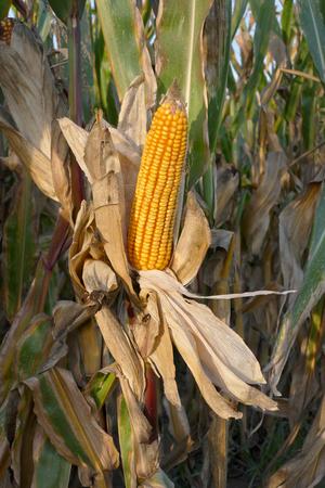 mazorca de maiz: Primer de la mazorca de maíz a finales del verano listo para la cosecha con espacio de copia