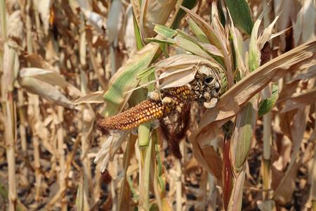 damaged: Agriculture,  damaged corn plant in field, harvest time