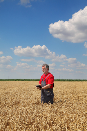 agronomist: Farmer or agronomist inspect quality of wheat using tablet in hands, harvest time