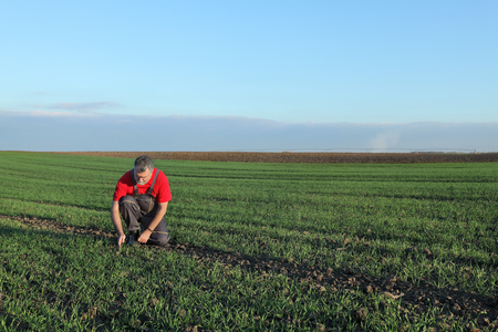 agronomist: Farmer or agronomist inspect quality of wheat in late autumn
