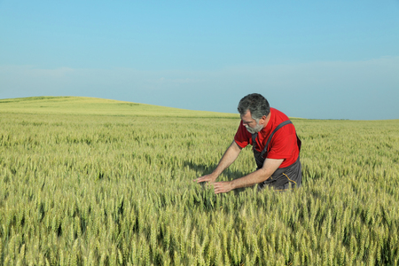 agronomist: Farmer or agronomist inspect quality of wheat in late spring Stock Photo