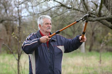 ciruela pasa: Superior hombre de poda de árboles en el huerto, retiro activo, selectivo se centran en la cara Foto de archivo
