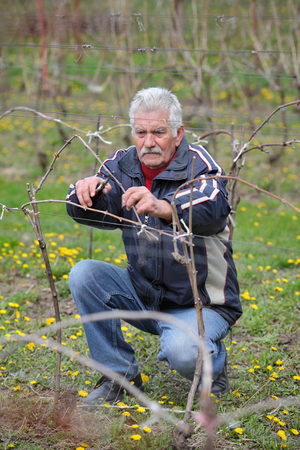 Senior man pruning grape in vineyard, active retirement, selective focus on face