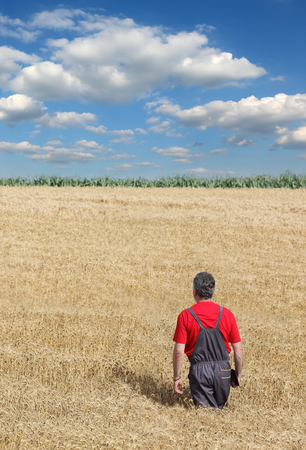 agronomist: Farmer or agronomist examine wheat plant, harvest time Stock Photo