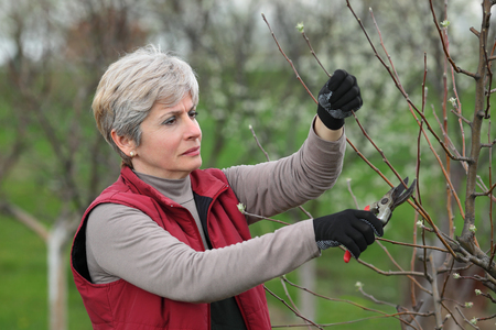 tree fruit: Mid adult female pruning tree in orchard selective focus on face Stock Photo