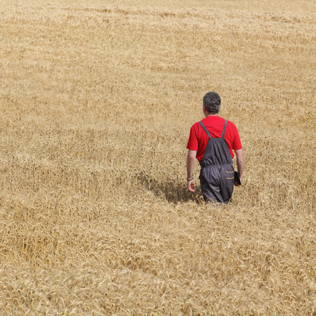 harvest field: Farmer or agronomist examine wheat plant in field, harvest time