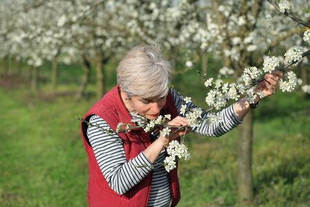 agronomist: Agronomist or farmer smelling and examine blooming plum trees in orchard