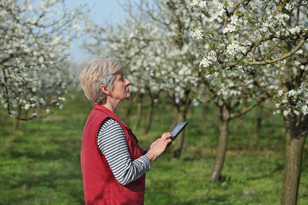 to examine: Agronomist or farmer examine blooming plum trees in orchard, using tablet
