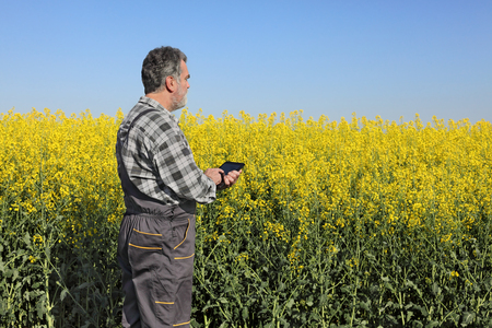 agronomist: Agronomist or farmer examine blooming canola field, using tablet