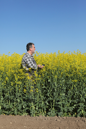 agronomist: Agronomist or farmer examine blooming canola field, holding tablet Stock Photo
