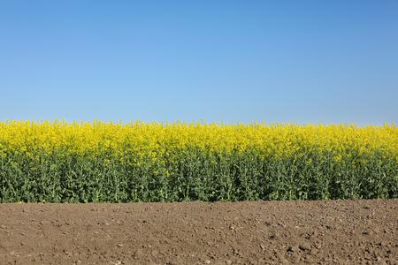 oil rape: Oil rape, blossoming canola plants in field, early spring