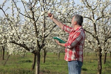 agronomist: Agronomist or farmer examine blooming plum trees in orchard Stock Photo