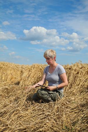 desesperado: Agricultura, agricultor desesperado examinar campo de trigo dañado después de la tormenta