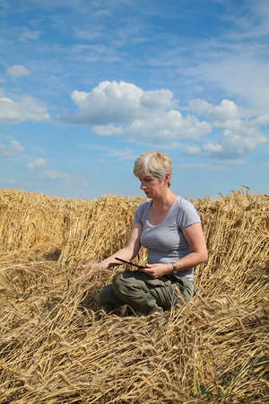 examine: Agriculture, desperate farmer  examine damaged wheat  field after storm