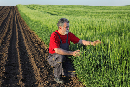 agronomist: Farmer or agronomist inspect quality of wheat in early spring