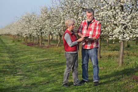 agronomist: Agronomist and farmer examine blooming plum trees in orchard, using tablet
