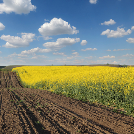 oil rape: Oil rape, landscape with blossoming canola plants in field, early spring Stock Photo