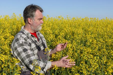 agronomist: Agronomist or farmer examine blooming canola plant field, oil seed rape