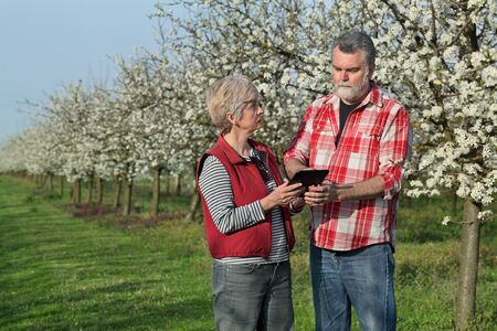 inspecting: Agronomist and farmer examine blooming plum trees in orchard, using tablet