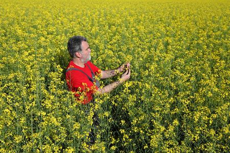 canola plant: Agronomist or farmer examine blooming canola plant field, oil seed rape