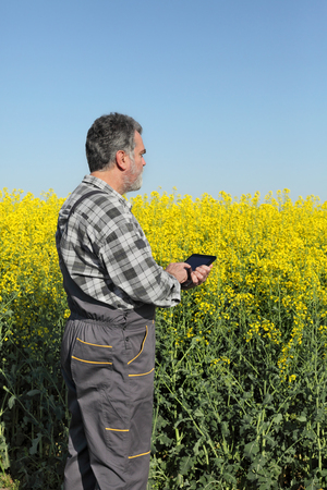 oil rape: Agronomist or farmer examine blooming canola field, rapeseed plant, using tablet Stock Photo