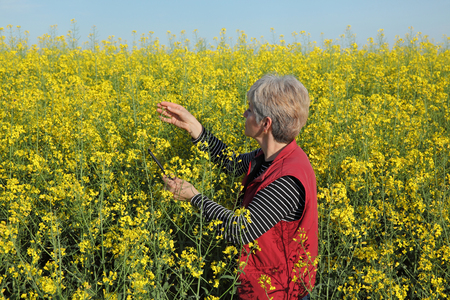 agronomist: Agronomist or farmer examine blooming canola field, rapeseed plant, using tablet Stock Photo